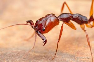 Trap  Jaw Ant by melvynyeo