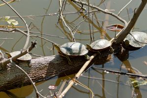 Four Little Turtles by ShawnHenry