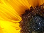 Sunflower by crop