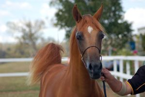 GE Arab chestnut young close up front view by Chunga-Stock