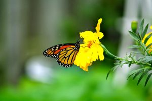 Golden Monarch Butterfly by chinesepaintings