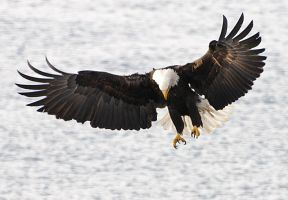 Eagle Incoming by JWFisher