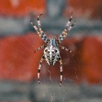 cross spider by Horitsu