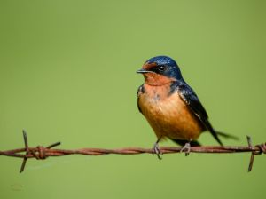 Barn Swallow - Bird on a wire by JestePhotography
