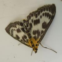 Small Magpie Moth - Front Door by SrTw