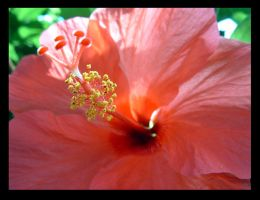 Hibiscus by jonway4