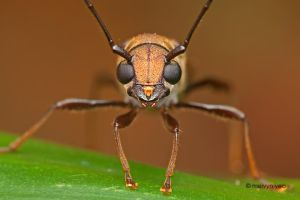 Baby Long-horned Beetle by melvynyeo