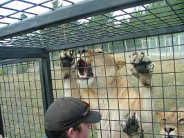 .stock: lions 2. by guavon-stock