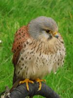Kestrel by EricaOscura