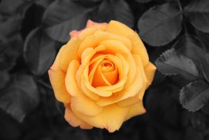Rose Amber Flush Partial Black and White by mojomcm
