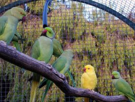 Indian Ringneck Family by N-ScapePhotography
