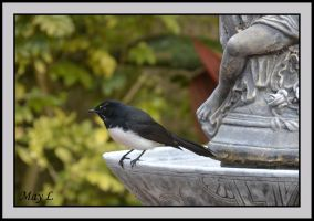 Willie Wagtail by MayEbony