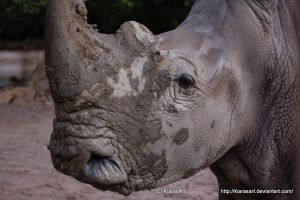 white rhinoceros by KIARAsART