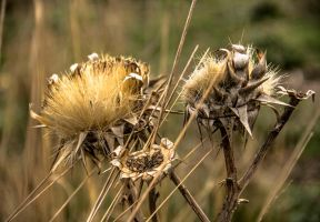 The beauty of thistles by ShlomitMessica