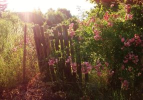 The Sunlit Rosebush And The Fence by TheSwanDive