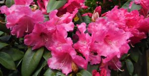 Rhododendrons by LEXLOTHOR