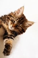The Maine Coon Kimba by Manu34