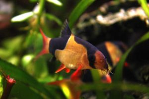 .:Clown loach:. by Fishybobo