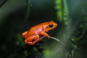 Orange frog by Cyssoo
