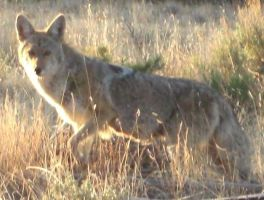 Coyote 4 by Wolf-of-Samhain