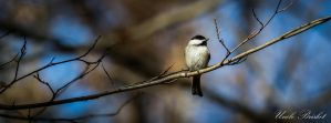 Lonely Chickadee by UncleBrisket