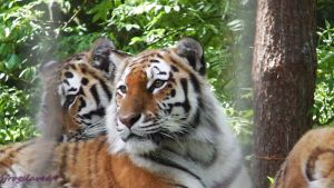 just beautiful tigers by frogslave69
