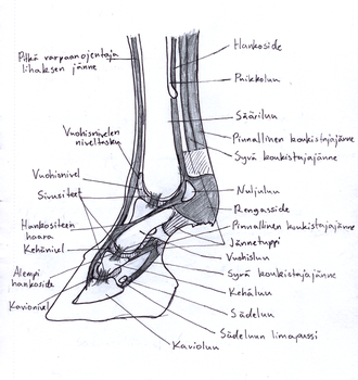 Anatomy of horse's leg by Garbuend