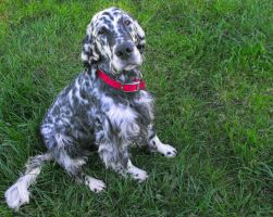 English Setter by Photos-By-Michelle