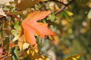 Fall sugar maple 13 by greyrowan