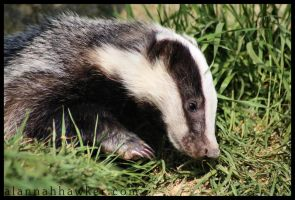 Badger Cub 01 by Alannah-Hawker