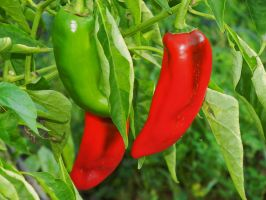 Peter Piper Picked a Pepper by KDMB