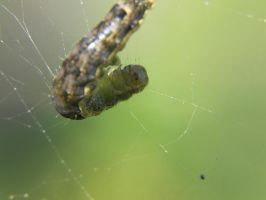 Caterpillar in web by ObliviousMind