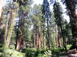 Sequoyas in Yosemite by MartinS819