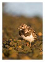Visiting Winter Turnstone by Neutron2K