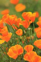 California poppies by finhead4ever