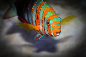 Harlequin Tuskfish by violent-obsession