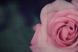LitTemplate: rose by joannastar-stock