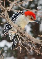 5x7 red bellied woodpecker card by clippercarrillo