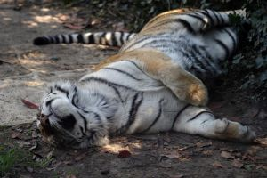 Sleepy day tiger by Shasari