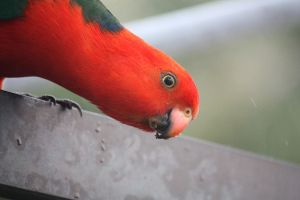 King Parrot.... Hi by Alter-Ego-666