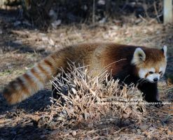 A Red Panda by 8TwilightAngel8
