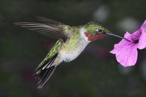 Hovering Ruby Throated Hummer by papatheo