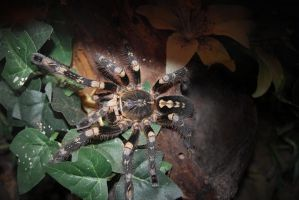 Poecilotheria bara dark by Risen-From-The-Ruins