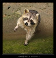 Rocky Raccoon IV by Crooty