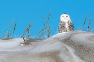 Snowy Owl in the Dunes-DT6 1429 by detphoto