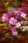 Autumn Hydrangea by EarthHart
