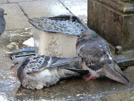 Bathing pigeons stock 3 by LittleOph