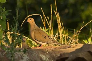 Mourning Doves by donnasueb