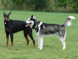 Doberman Pinscher with Husky by FantasyStock