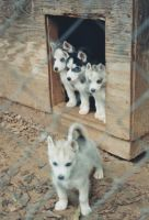 Siberian Pups by 1984MLR